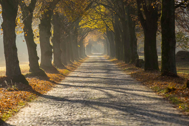 Die Haustenbecker Allee mit ihrer mit Kopfstein gepflasterten Fahrbahn durchzieht die Heidelandschaft der Senne © Karsten Niehues