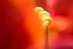 Intimer Einblick in eine Tulpe