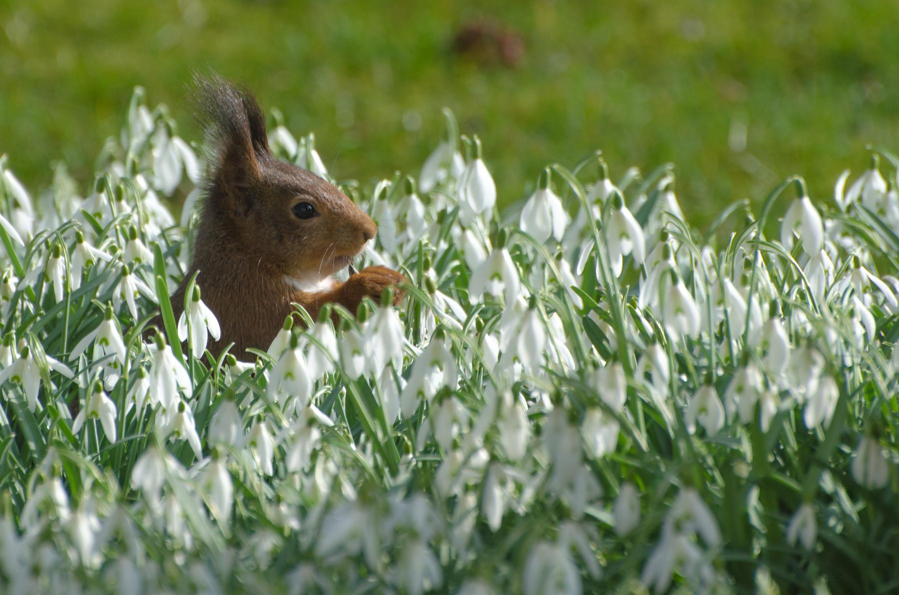 Eichhörnchen im Frühlingsbeet - ©Hans Jürgen Schalski