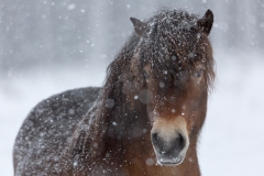 exmoorpony-wistinghausersenne-winter-schnee-2