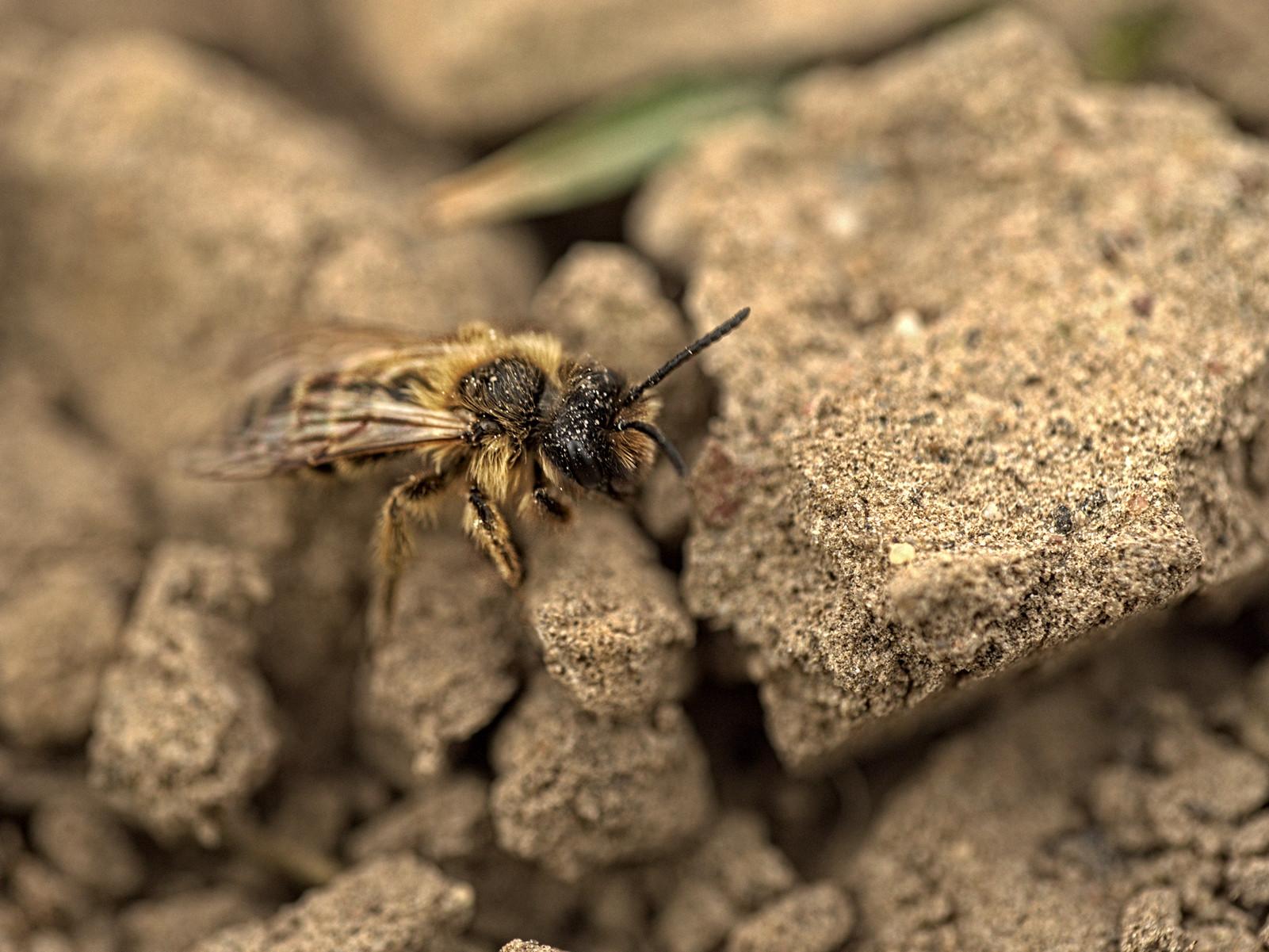 Eine rotschopfige Sandbiene auf der Suche nach einem Nistplatz