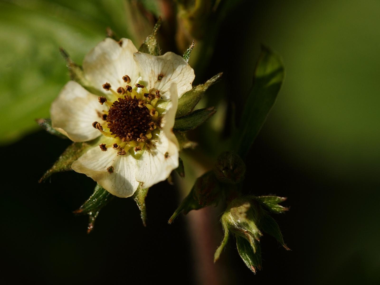 Verfrorene Blüte einer Walderdbeere