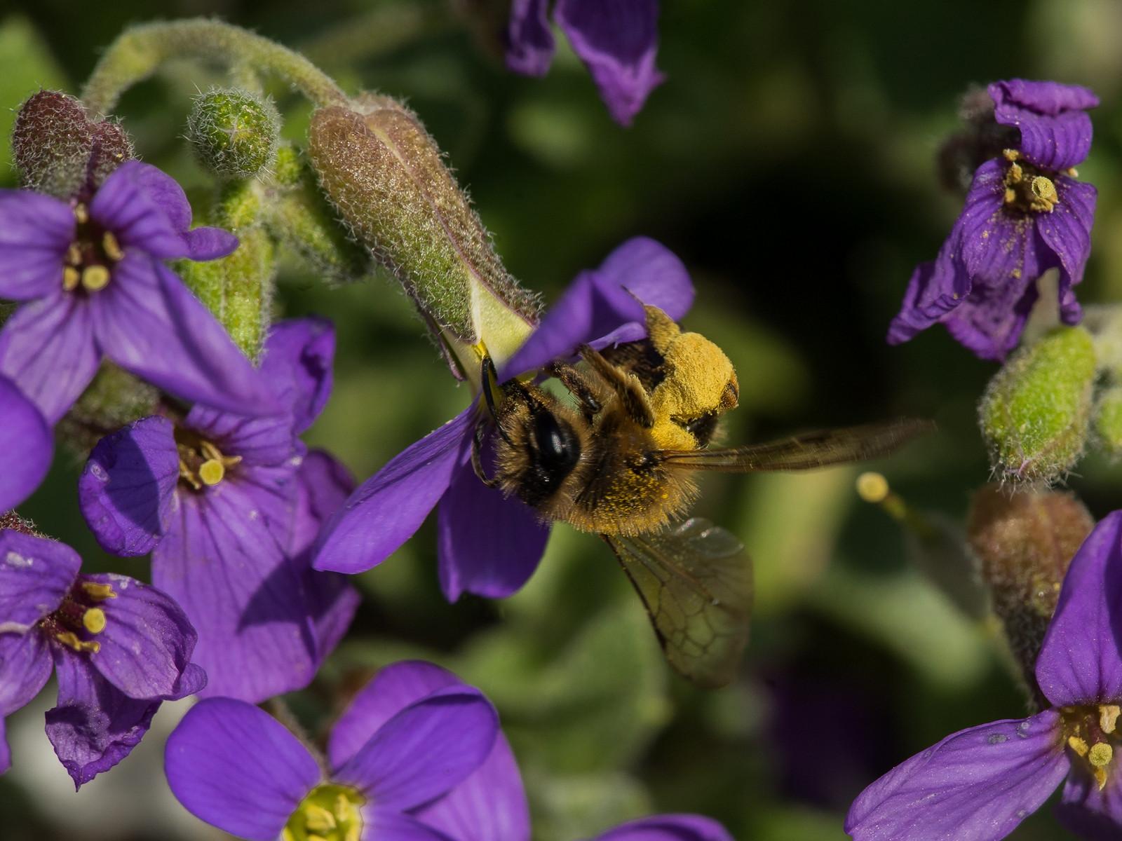 Rotschopfige Sandbiene voll mit Pollen auf einer Blüte