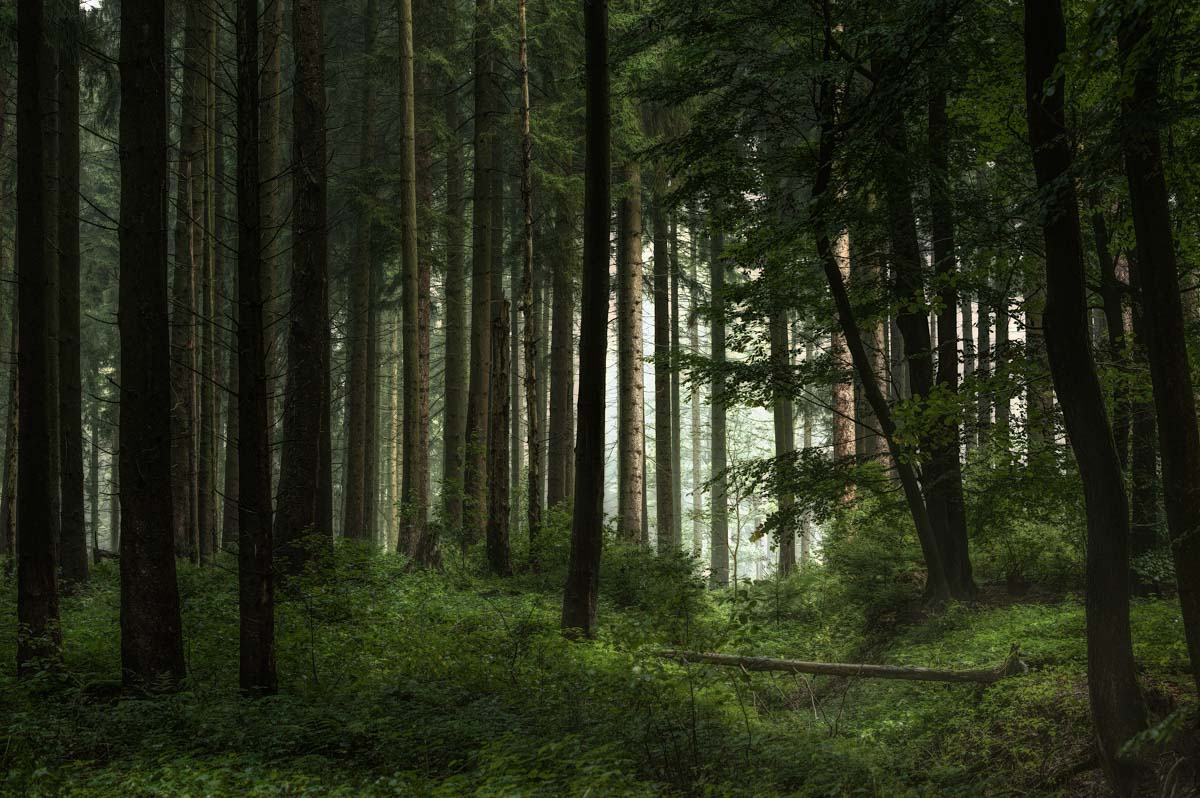 Zögernd durchdringen die ersten Sonnenstrahlen am Morgen den Wald.