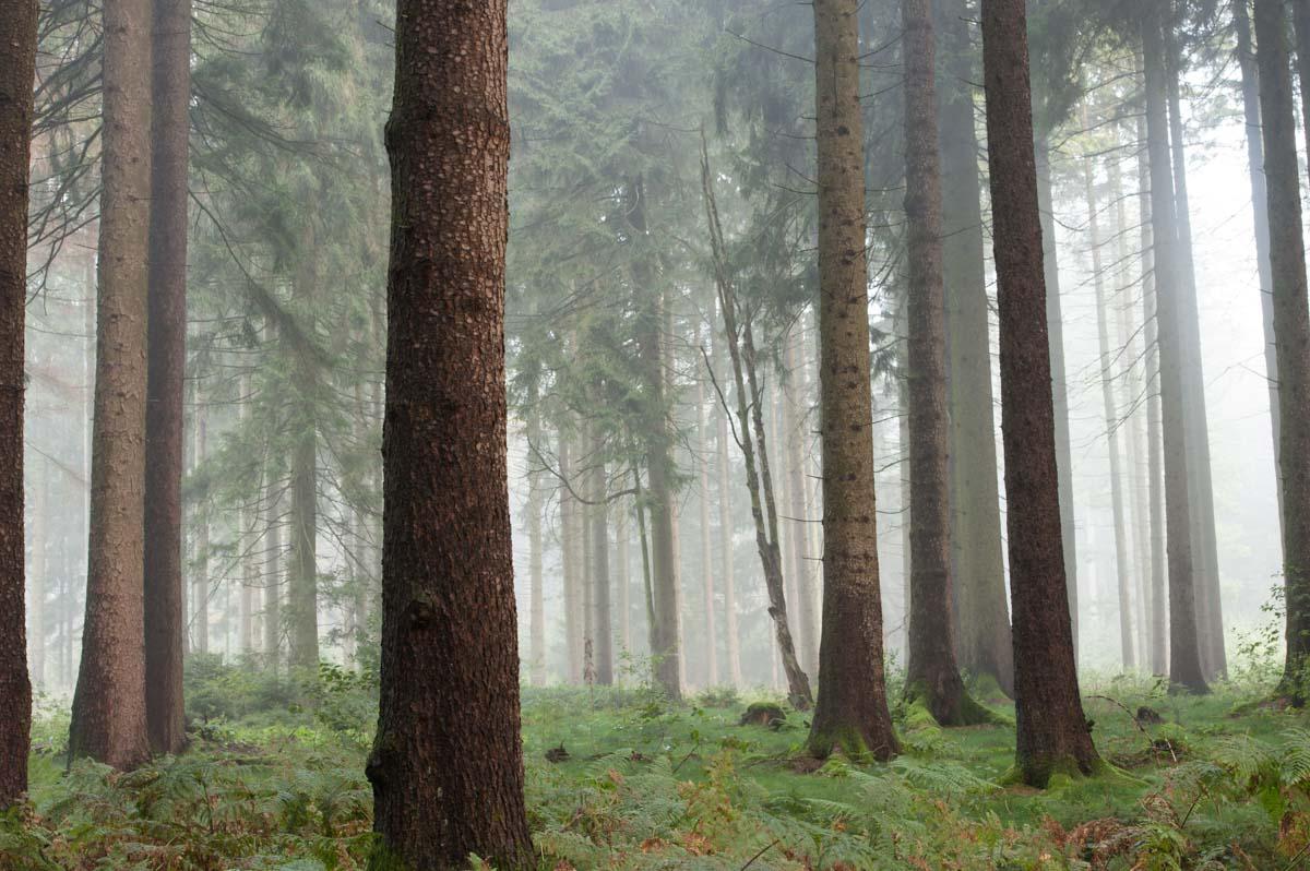 Noch hängt der Morgennebel in dichten Schwaden zwischen den Bäumen.