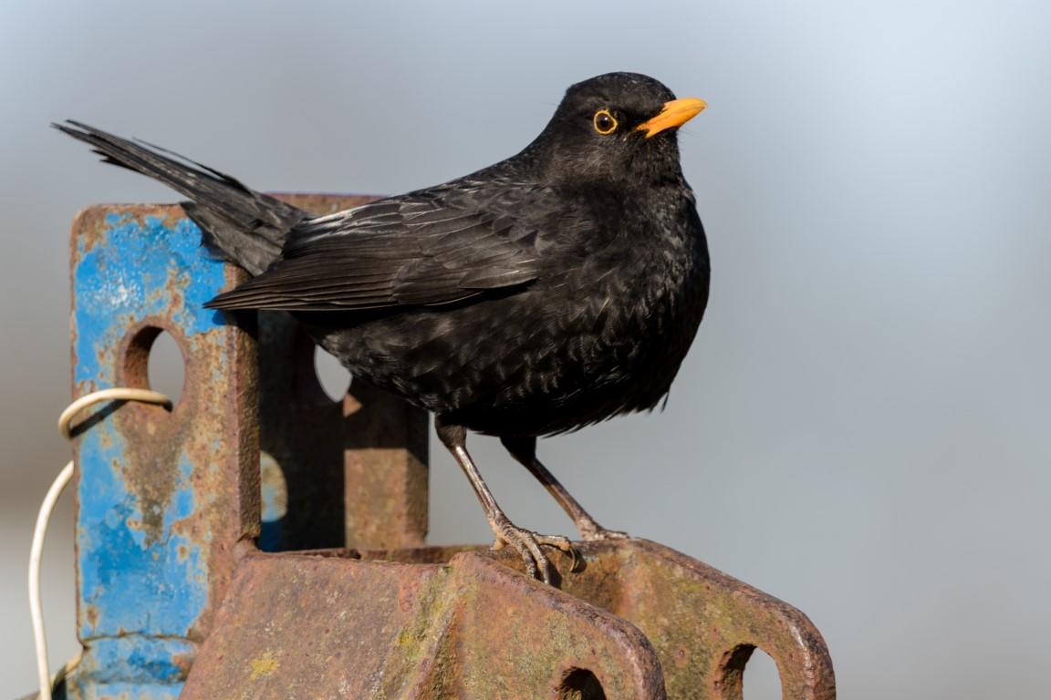 Amsel Männchen (Turdue merula) Blackbird