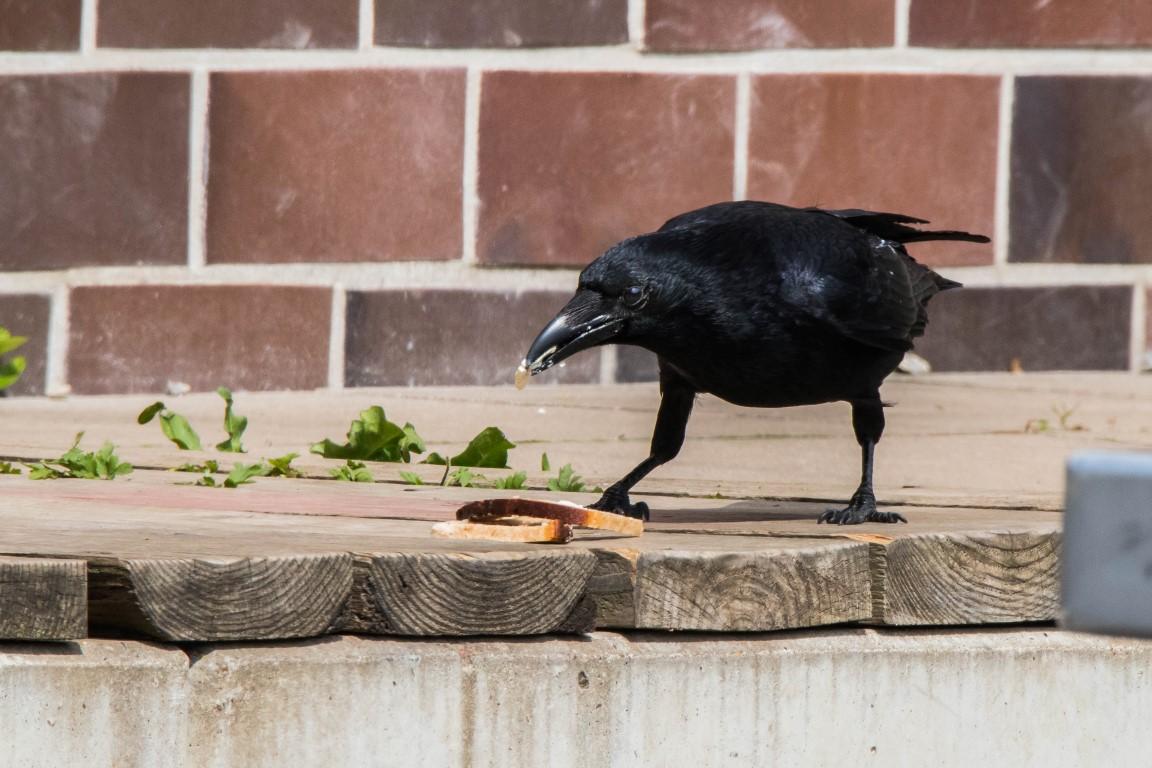 Pausenbrot für die Rabenkrähe (Corvus corone)