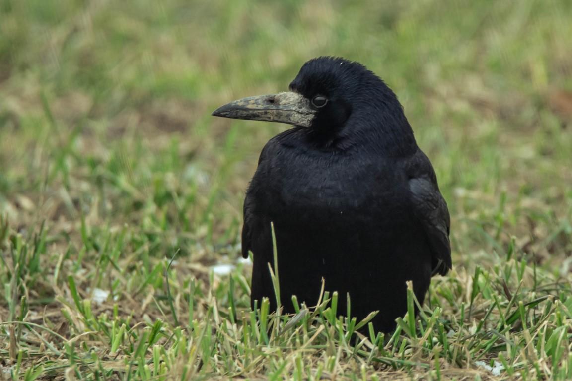 Saatkrähe Corvus frugilegus)