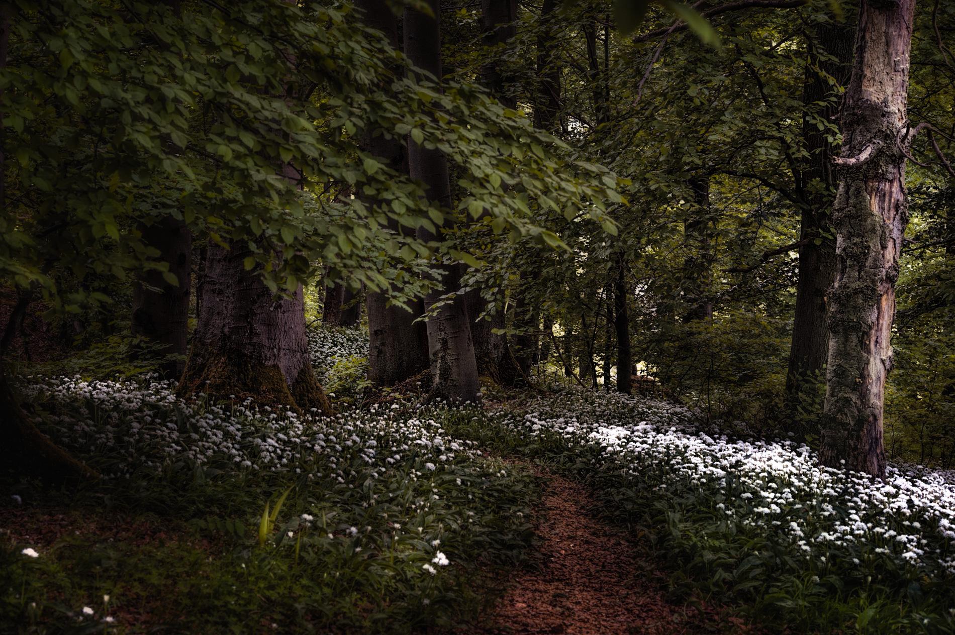 Ein kleiner Pfad, der sich durch den Wald zieht, wird rechts und links mit Bärlauch geschmückt. In der Stille hört man ein harmonisches Vogelgezwitscher. Es gibt einem das Gefühl, als wäre man in einem Märchenwald. Um den Bärlauch nicht zu beschädigen, sollte man den Pfad nicht verlassen.