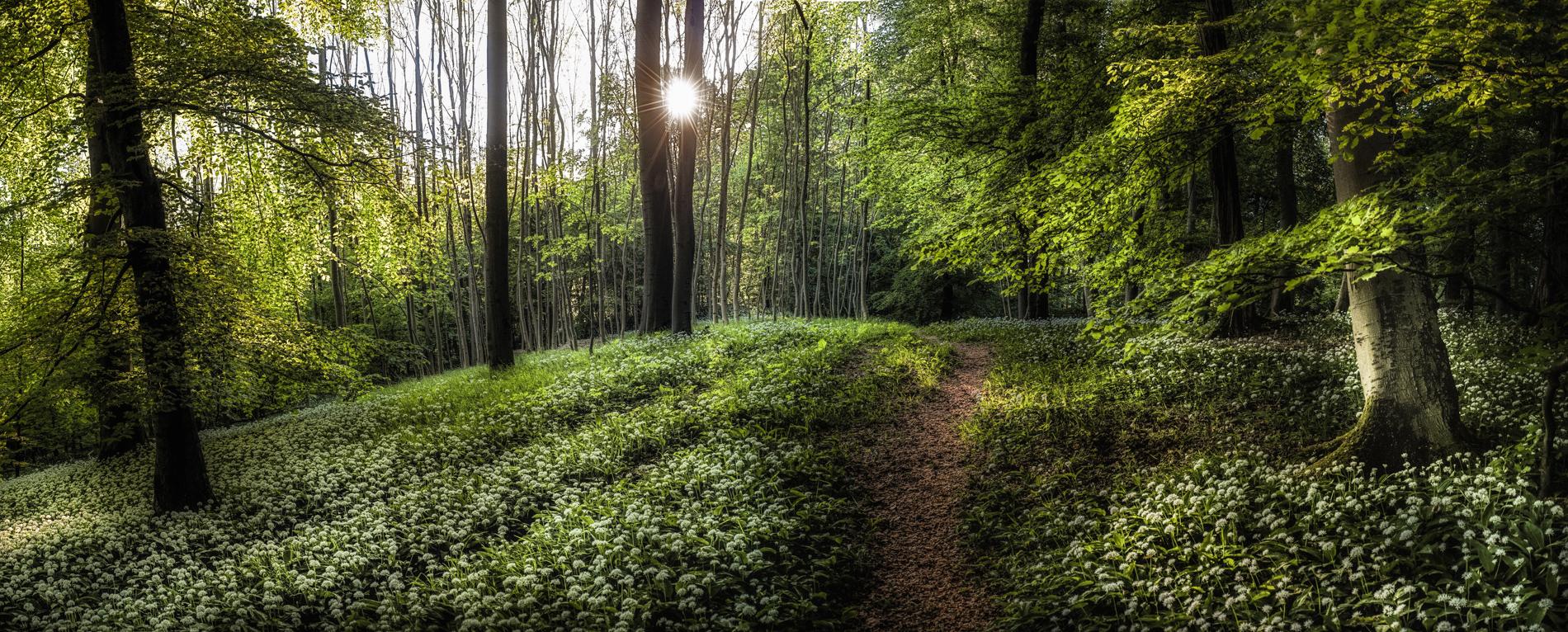 Die Morgensonne strahlt, zieht durch das frische Grün der Buchen und der Bärlauch steht in voller Blüte, ein perfekter Morgen zum Fotografieren.