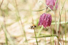 Schachblume mit Hummel im Anflug © Heike Reineke