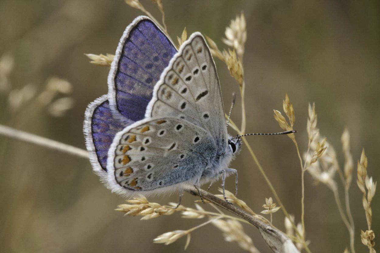 Blauhechelbläuling © Karsten Niehues