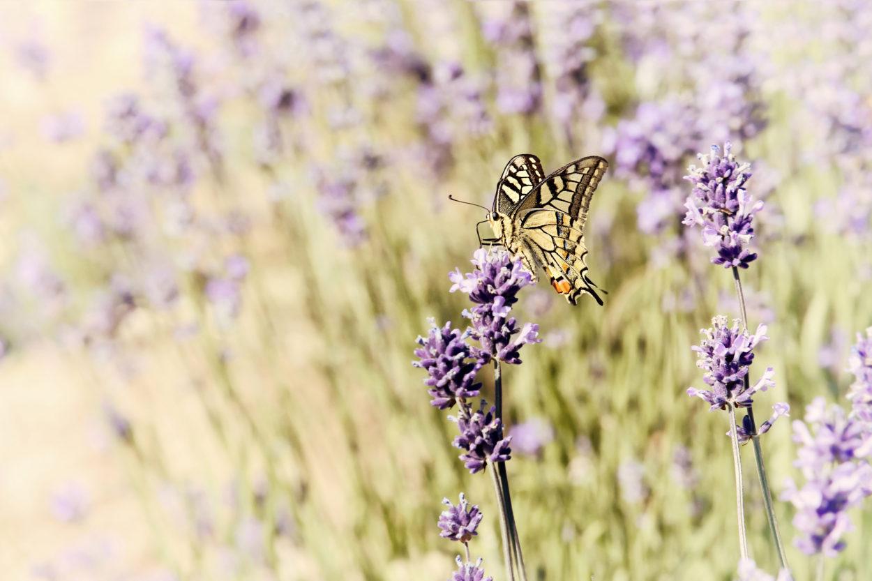 Schwalbenschwanz (Papilio Machaon) © Heike Reineke
