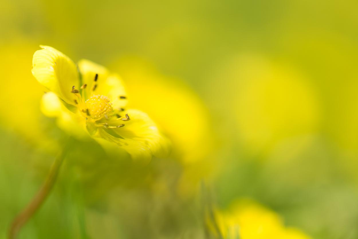 Ein zarter Blütentraum in GELB © Gerhard Tegeler