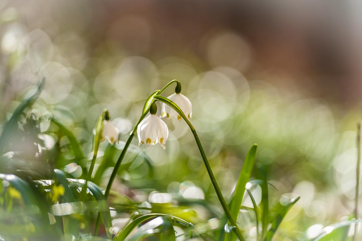 Frühlingserwachen der Märzenbecher