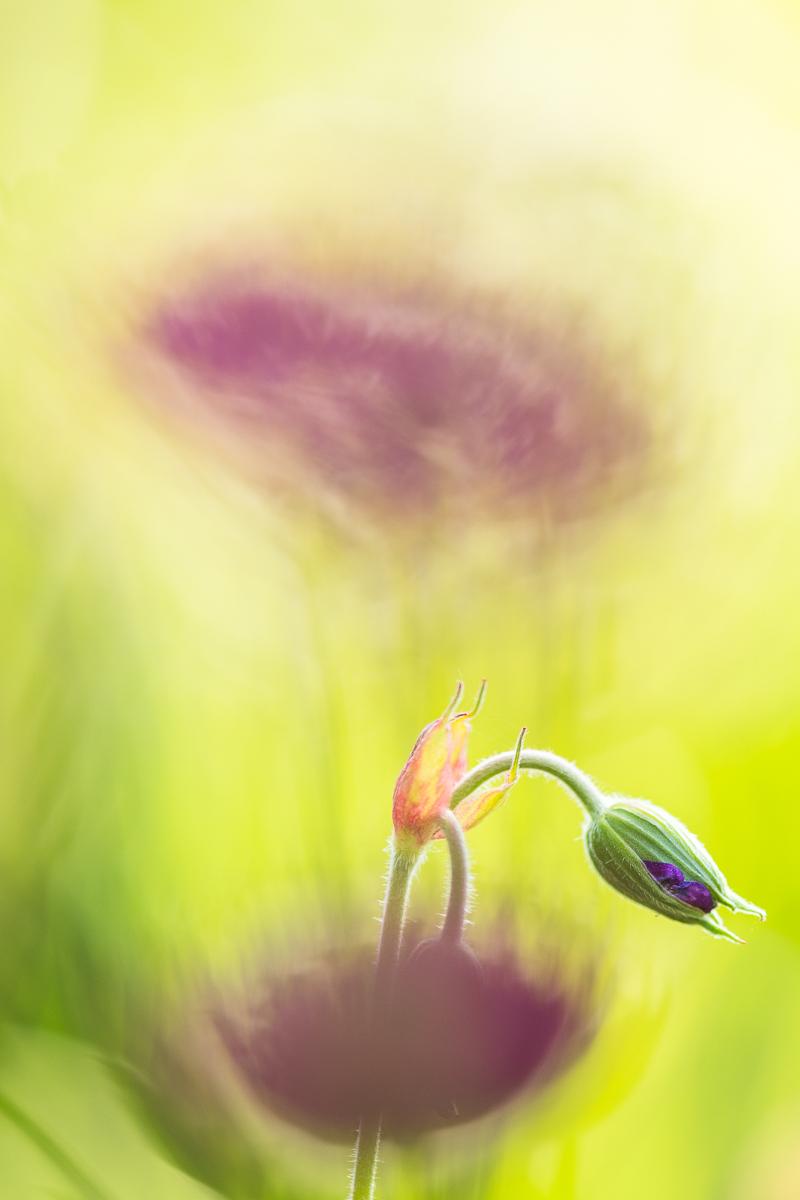 Geranium in Pastel