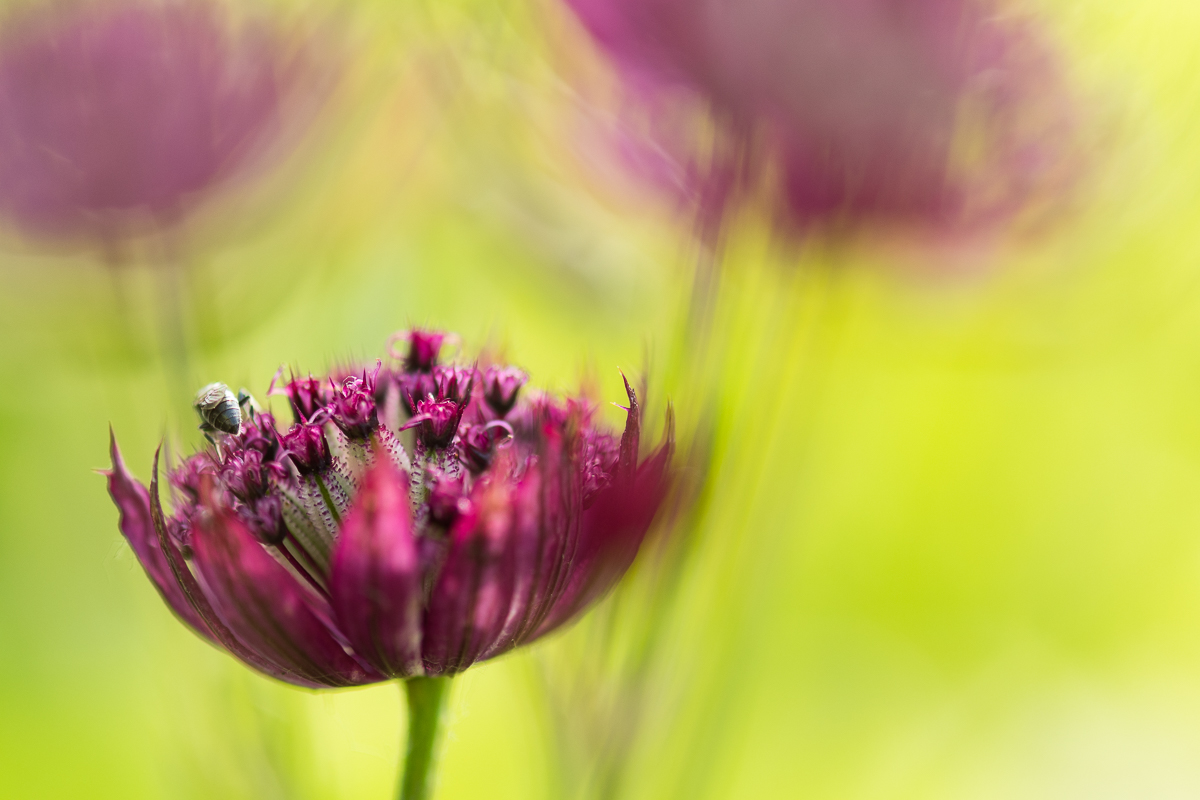 Sterndolde mit Biene