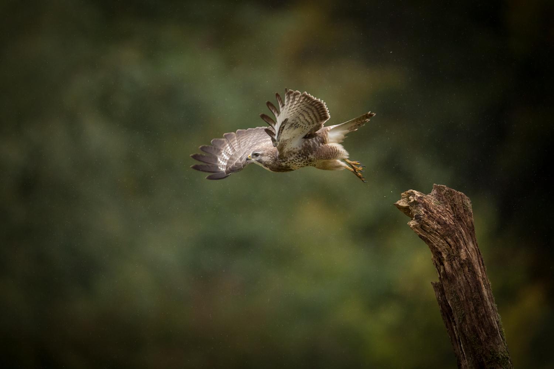 Vom Ansitz geht los zum Beutefang © Karsten Niehues