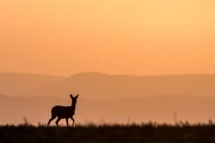 Reh am Morgen- Beim Morgenspaziergang beobachte ich das Reh und das Reh mich . - © Karsten Höhne