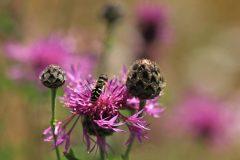 Schwebfliege auf einer Wiesen-Flockenblume © Renate Mahnert