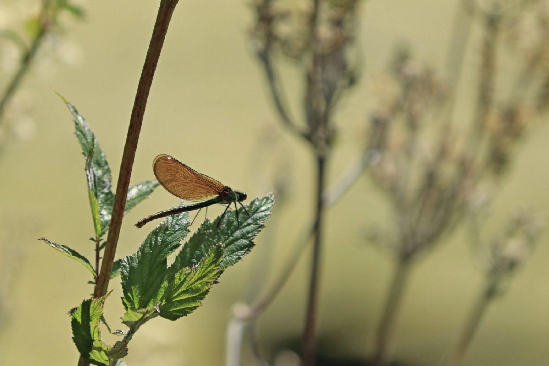 Weibchen der Blauflügel-Prachtlibelle  (Calopteryx virgo) © Renate Mahnert