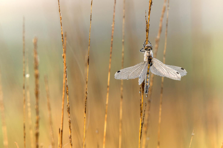 Große Moosjungfer(Leucorrhinia pectoralis) © Heike Reineke
