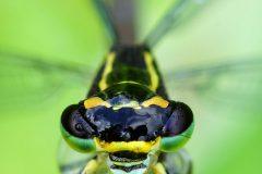 Weibliche Azurjungfer (Coenagrion puella) © Thomas Grimmelt