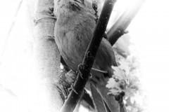 Nachtigall (Luscinia megarhynchos) © Norbert Hofmann