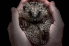 Eine kleine Handvoll Igel – nur 124 Gramm © Gerhard Tegeler
