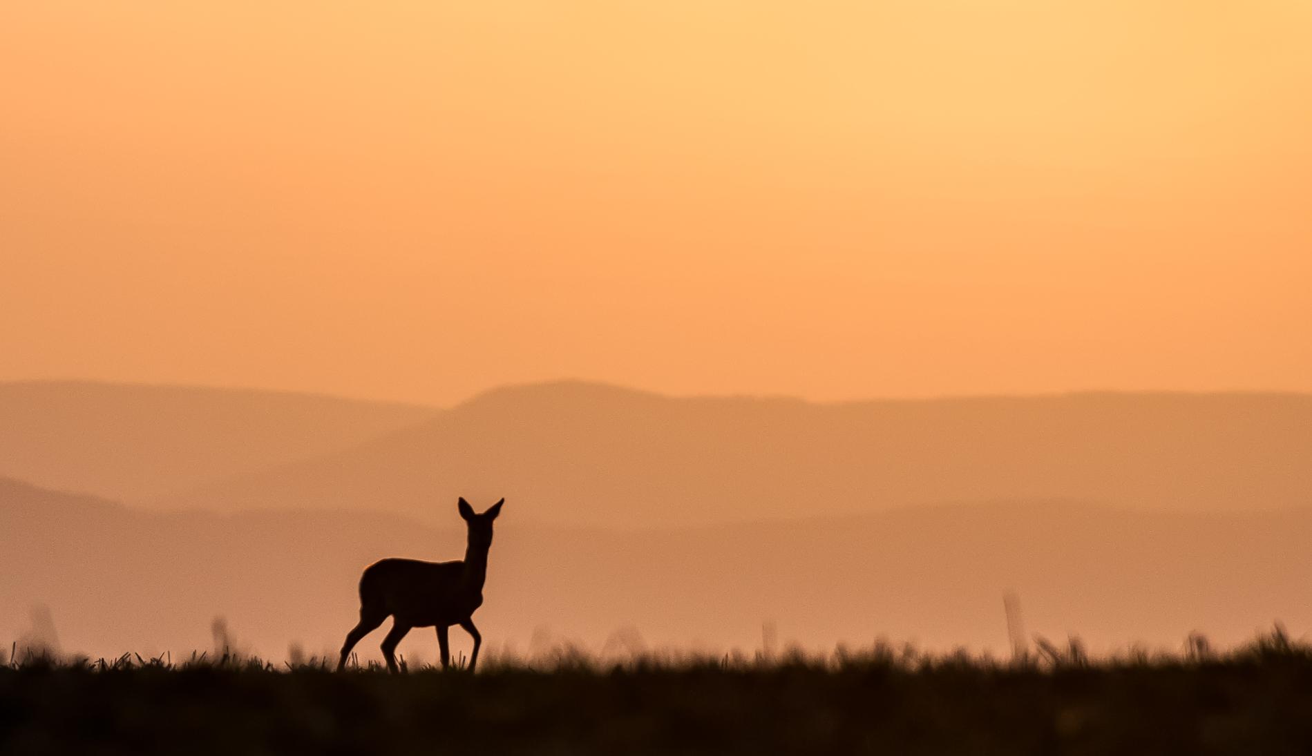 Reh am Morgen- Beim Morgenspaziergang beobachte ich das Reh und das Reh mich -© Karsten Höhne